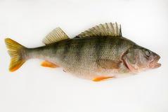 Perche de poissons vivants Photo libre de droits