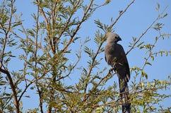 Perche grise de lourie dans un arbre photo stock