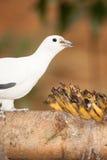 Perche impériale pie de pigeon sur la brindille en parc de la Thaïlande Image stock
