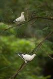 Perche impériale pie de pigeon sur la brindille en parc de la Thaïlande Photo libre de droits