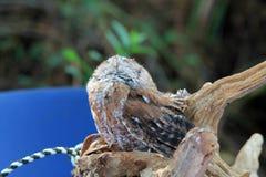 Perched抢救了闭上的猫头鹰眼睛 库存图片