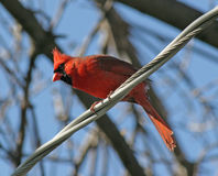 Perched. Vivid red male Cardinal perched on electric wire with blue sky and tree background royalty free stock photos