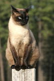 Perched. A siamese cat perched and watching Stock Photo
