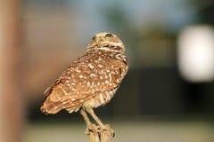挖洞猫头鹰的Perched 库存图片