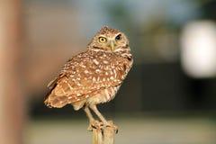 挖洞在风的Perched猫头鹰面对照相机 免版税图库摄影