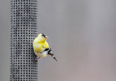 Perched American goldfinch Stock Images