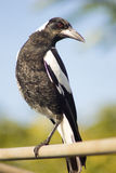 Perched Australian Magpie. One legged australian black and white magpie on a washing line Stock Photos