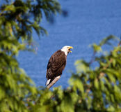 Perched Bald Eagle Royalty Free Stock Photography