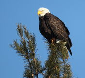Perched Bald Eagle. A Bald Eagle perches on a pine tree with a blue sky background Royalty Free Stock Image