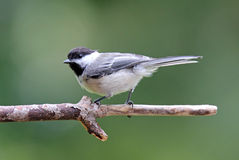 Perched Black Capped Chickadee Royalty Free Stock Images