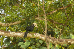 Perched Black Male Hornbill with Ripe Fig in Beak. This beautiful iridescent male black hornbill, perched on a giant fig branch amongst the fig leaves with its Royalty Free Stock Image