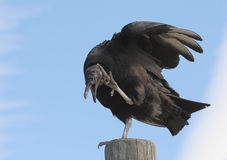 Perched Black Vulture Royalty Free Stock Photo