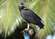Perched black vulture - Coragyps astratus Stock Photos