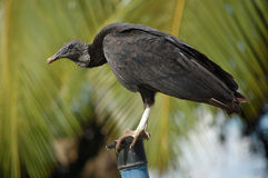 Perched black vulture - Coragyps atratus Stock Image