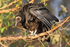Perched Black Vulture Royalty Free Stock Photography