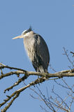 Perched Blue Heron Stock Image