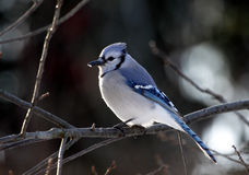 Perched Blue Jay Stock Photo