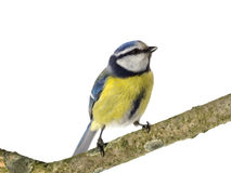Perched Blue Tit Stock Image