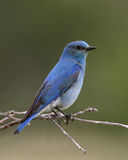 Perched Bluebird. Mountain bluebird perched on a scrub oak twig with muted green background Royalty Free Stock Image