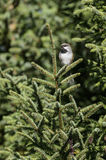 Perched Boreal Chickadee Royalty Free Stock Images