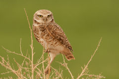 Perched Burrowing Owl Stock Image