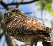 Perched burrowing owl alert Stock Photography