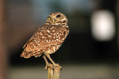 Perched burrowing owl alert suspecting Royalty Free Stock Images
