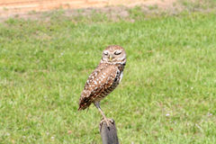 Perched burrowing owl eyes closed Stock Photo