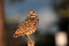 Perched burrowing owl looking down Stock Images