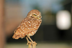 Perched burrowing owl making a face Royalty Free Stock Images