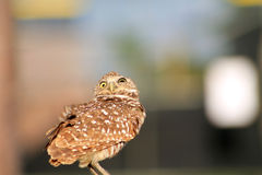 Perched burrowing owl in the wind and looking up Royalty Free Stock Photo