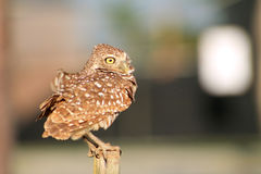 Perched burrowing owl in the wind Stock Photos