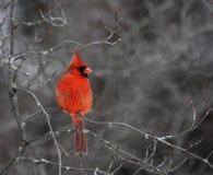 Perched Cardinal Stock Photo