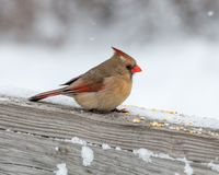 Perched cardinal fêmea Foto de Stock Royalty Free
