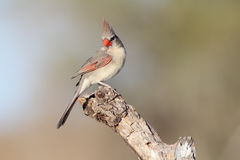 Perched cardinal fêmea em um ramo fotos de stock