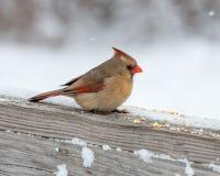 Perched cardinal femenino Foto de archivo libre de regalías