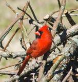 Perched cardinal masculin du nord photo stock