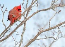 Perched cardinal masculino Fotos de archivo libres de regalías
