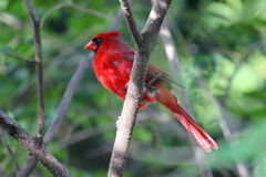 Perched Cardinal Royalty Free Stock Photography