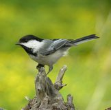 Perched Chickadee 1. Black-capped chickadee perched on tree stump stock images