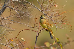 Perched Cirl Bunting Royalty Free Stock Photography