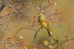 Perched Cirl Bunting Stock Photography