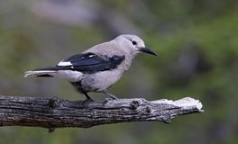 Perched Clark`s Nuthatch Stock Photos