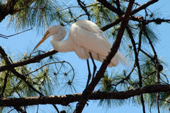 Perched crane. Large white crane perched in a tree against a bright blue sky Stock Image