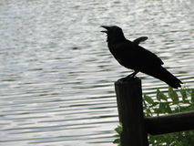Perched Crow at a Lake Stock Image