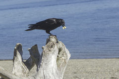 Perched crow on a log. Royalty Free Stock Photo