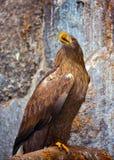 perched den guld- journalen för örnen royaltyfri foto