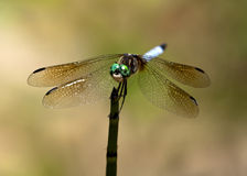 Perched Dragonfly Royalty Free Stock Image