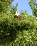 Perched Eagle. An Eagle perched in a pine tree Stock Image