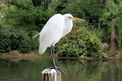 Perched Egret. An Egret perched on a post Stock Photos